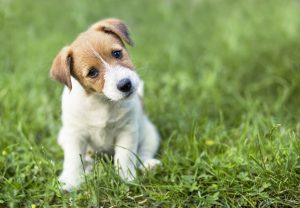 Jeune chiot jack russell