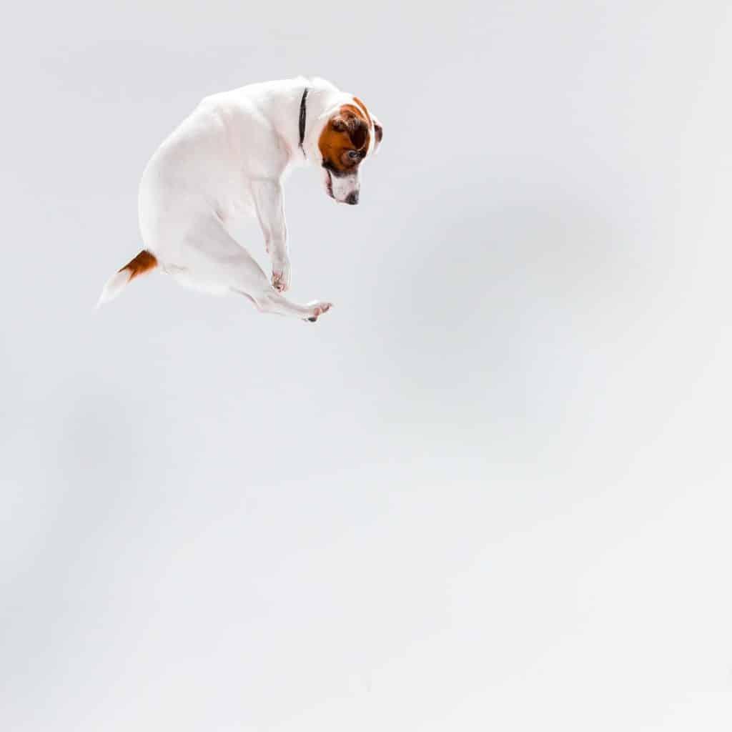 Jack Russel qui saute