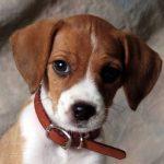 Croissement Jack Russell et Beagle